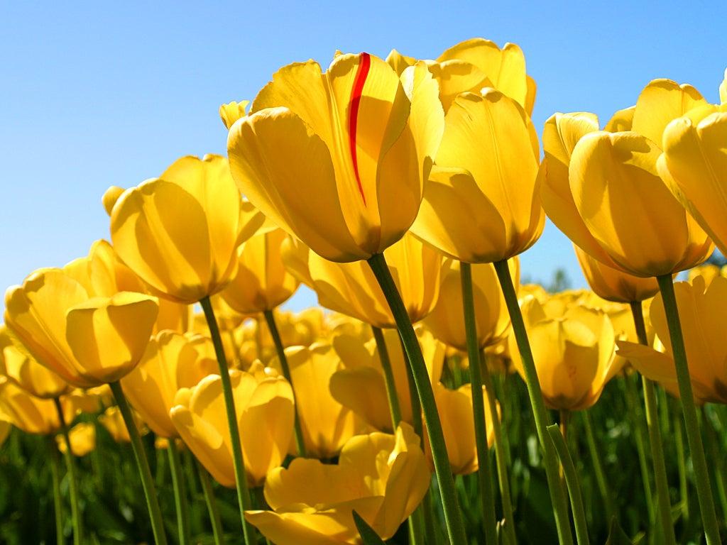 Yellow tulips in the sun