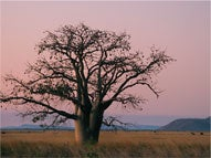 to dream - cover image, tree in outback