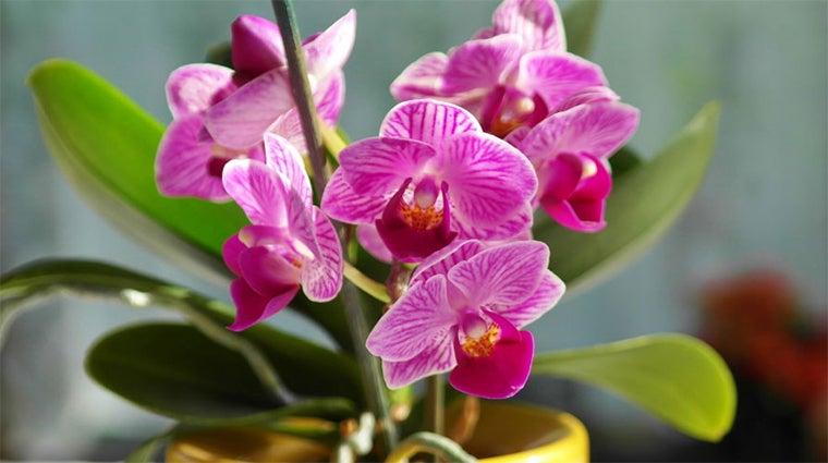 Orchid - a symbol of Intersex