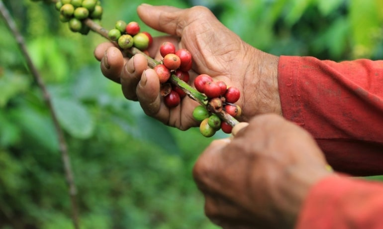 Coffee beans in West Java